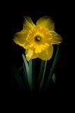 Flor amarela do narciso amarelo na obscuridade Imagens de Stock