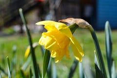 A flor amarela do narciso floresceu em um canteiro de flores imagens de stock royalty free