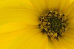 Flor amarela do outono foto de stock royalty free
