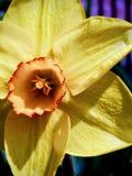 Flor amarela do quadro completo na tarde da mola fotos de stock royalty free