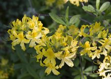 Flor amarela do rododendro Flor exótica fotos de stock