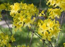 Flor amarela do rododendro Flor exótica foto de stock royalty free