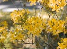 Flor amarela do rododendro Flor exótica fotografia de stock
