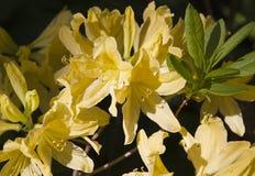 Flor amarela do rododendro Flor exótica fotos de stock royalty free