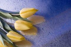 Flor amarela do tulip da mola no fundo azul Imagem de Stock