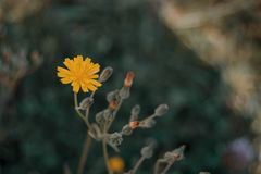 Flor amarela do virosa do lactuta fotos de stock