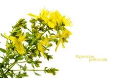 Flor amarela do wort de St John, perforatum do Hypericum, isolado Fotos de Stock