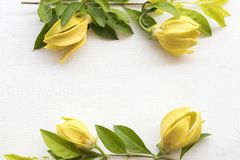 Flor amarela do ylang de Ylang local de Ásia imagem de stock royalty free