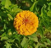 Flor amarela do Zinnia Imagem de Stock