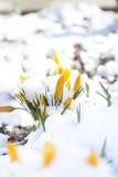 Flor amarela dos açafrões da mola coberta com a neve Fotos de Stock