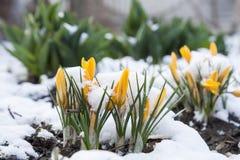 Flor amarela dos açafrões da mola coberta com a neve Imagens de Stock
