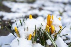 Flor amarela dos açafrões da mola coberta com a neve Imagem de Stock
