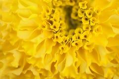 Flor amarela dos cravos-de-defunto imagem de stock royalty free