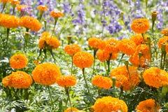 Flor amarela dos cravos-de-defunto Fotografia de Stock Royalty Free