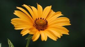 Flor amarela dos helianthoides do Heliopsis vídeos de arquivo