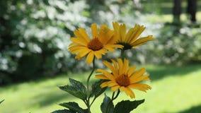 Flor amarela dos helianthoides do Heliopsis video estoque
