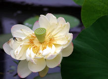 Flor amarela dos lótus fotos de stock royalty free