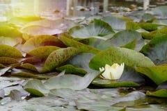 A flor amarela dos lótus sagrados na lagoa incandesce luz brilhante imagem de stock