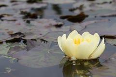 A flor amarela dos lótus sagrados na lagoa incandesce luz brilhante fotografia de stock