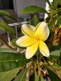 Flor amarela dos leus havaianos Fotos de Stock Royalty Free