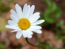 Flor amarela e branca bonita imagens de stock