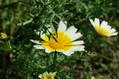 Flor amarela e branca bonita em um fim do campo acima imagens de stock royalty free