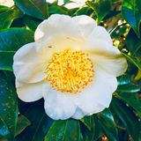 Flor amarela e branca com formiga Fotografia de Stock Royalty Free