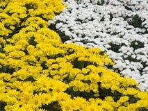 Flor amarela e branca do daisey Fotos de Stock Royalty Free