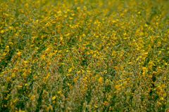 Flor amarela e marrom, CROTALARIA JUNCEA, campo do SunHemp fotografia de stock royalty free