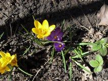 Flor amarela e roxa da flor do açafrão da mola no jardim fotografia de stock royalty free