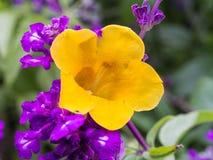 Flor amarela em flores roxas Imagem de Stock Royalty Free
