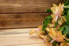 Flor amarela em um cacto de Natal de madeira de schlumberger do fundo imagens de stock
