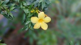 Flor amarela em um fundo borrado Fotos de Stock