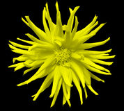 Flor amarela em um fundo preto isolado com trajeto de grampeamento closeup Imagem de Stock Royalty Free