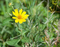 Flor amarela em um prado Fotos de Stock Royalty Free
