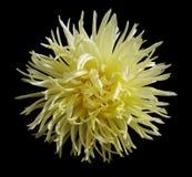 A flor amarela, enegrece o fundo isolado com trajeto de grampeamento closeup aster Imagem de Stock Royalty Free