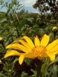 Flor amarela ensolarada Imagem de Stock