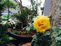 A flor amarela está florescendo na luz do dia imagens de stock royalty free