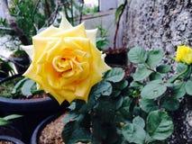 A flor amarela está florescendo na luz do dia foto de stock royalty free
