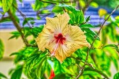 Flor amarela exótica nas ilhas de Maldivas foto de stock royalty free