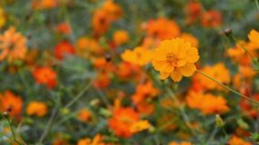 Flor amarela focalizada seletiva do cosmos video estoque