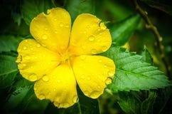 Flor amarela fresca com folhas verdes Fotos de Stock Royalty Free