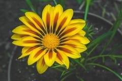 Flor amarela grande do gazania Foto de Stock