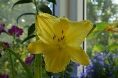 Flor amarela grande do hemerocallis no fundo do jardim de florescência no balcão foto de stock royalty free