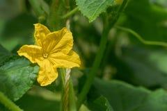Flor amarela grande do pepino no fundo das folhas verdes Imagem de Stock