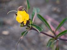 Flor amarela, Herb Shingles imagens de stock