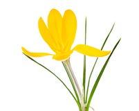 Flor amarela isolada da flor do açafrão Imagem de Stock Royalty Free