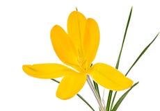 Flor amarela isolada da flor do açafrão Imagens de Stock Royalty Free