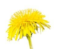 Flor amarela isolada da flor do dente-de-leão Fotografia de Stock