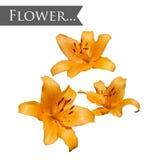 Flor amarela isolada de Lilia Fotografia de Stock Royalty Free